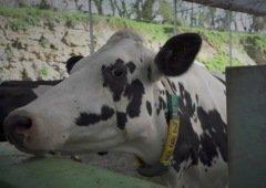 Estas vacas no Reino Unido já têm acesso ao 5G