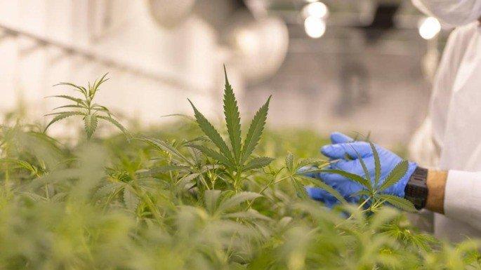 Cannabis espaço