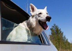 Uber Pet é o serviço que permite levar animais de estimação no carro!